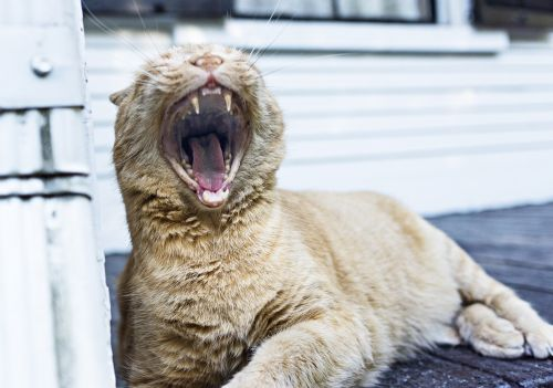 yawning cat feline