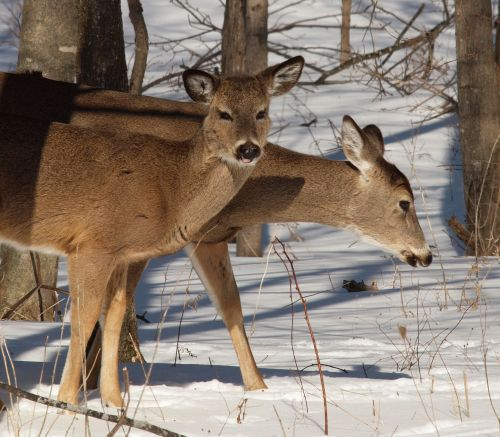 Yearling Fawn With Doe