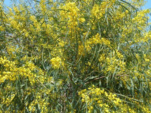 yellow spring mimosa