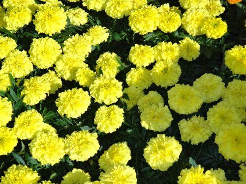 geltona,marigoldas,gėlės