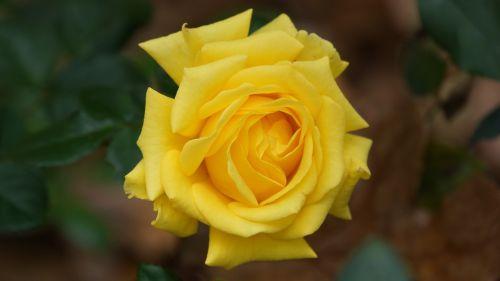 yellow flowers nature