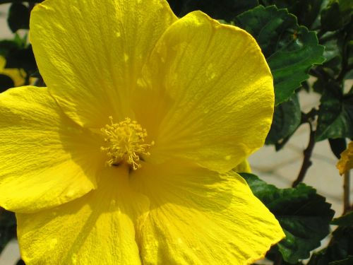 buttercup spring flower