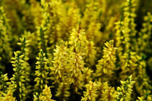 yellow heide nature