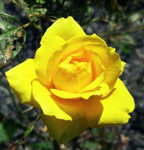yellow mini rose ohio