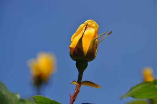 yellow rose rosebud