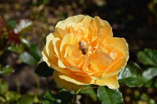 yellow roses insects