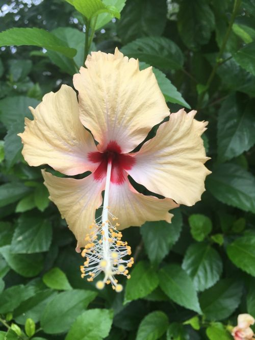 yellow lovely hibiscus