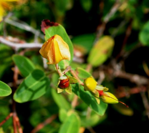yellow hypericum flower
