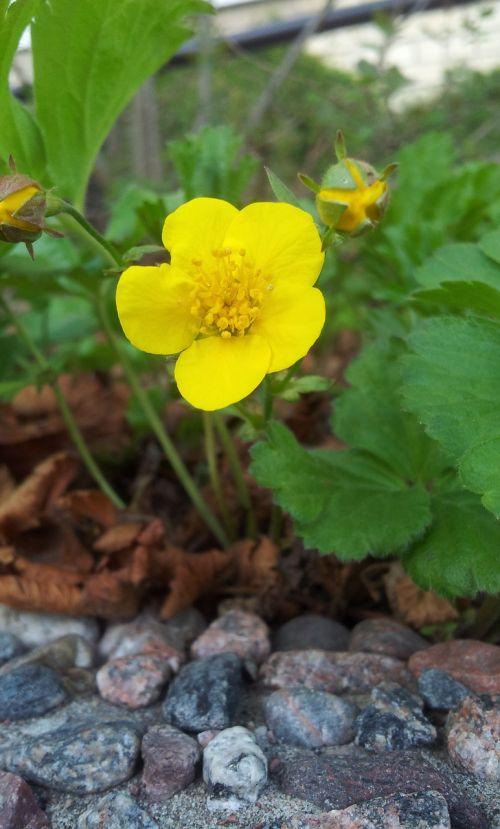 yellow flower yellow flower