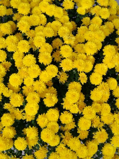 yellow chrysanthemum pixar bay