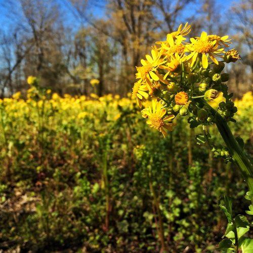 yellow mustard kentucky