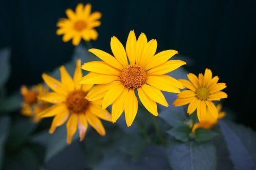 geltona,gėlė,vasarą,geltona gėlė,gamta,graži gėlė,gėlės,augalas,vasaros gėlės,makro,geliu lova,Iš arti,birželis,didžiulė gėlė,geltona geltona,geltona gėlė,pavasario gėlės