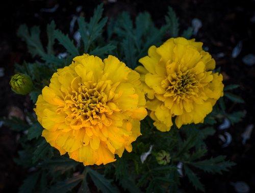 yellow  green  marigold