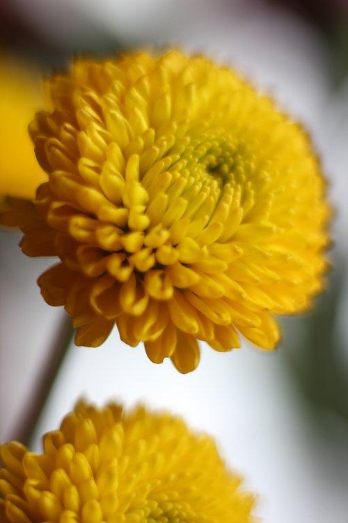 yellow  mum  bloom