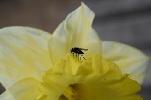 yellow  fly  flower