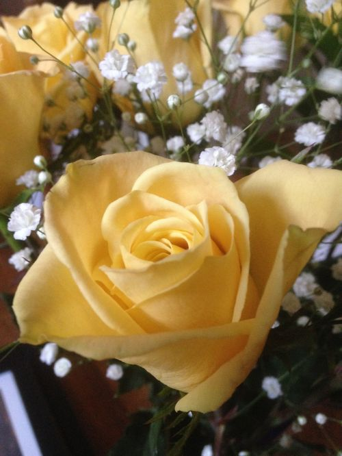 yellow rose baby's breath