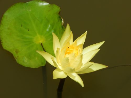 yellow lilly flower pond