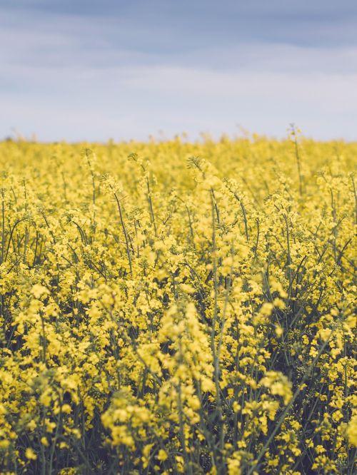 yellow flower farm