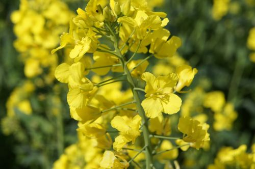 yellow flower rapeseed