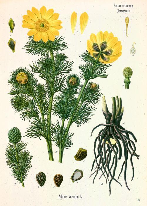 yellow adonis flower blossom