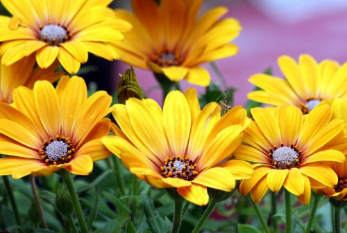 Yellow African Daisies 2