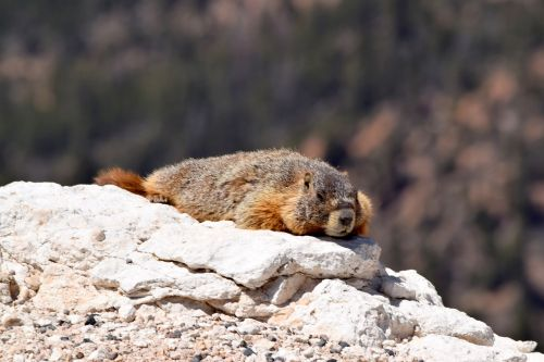 yellow bellied marmot wildlife nature
