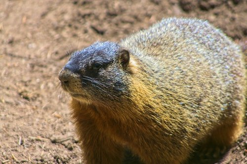 yellow-bellied marmot  rock chuck  animal
