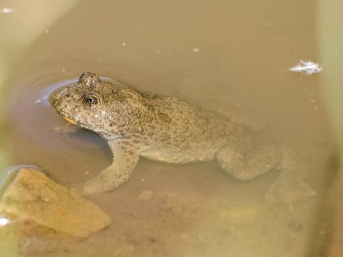 yellow-bellied toad toad amphibians