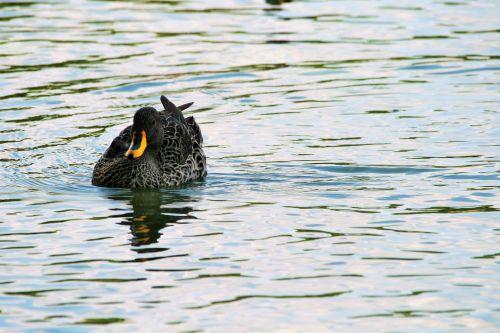 Yellow Billed Anas Undulata Duck