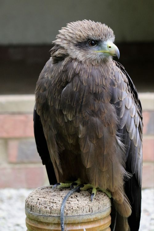yellow billed kite bird kite
