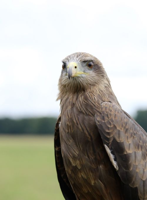 yellow billed kite bird of prey kite