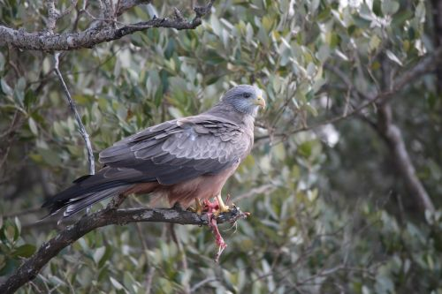 yellow billed kite bird afr
