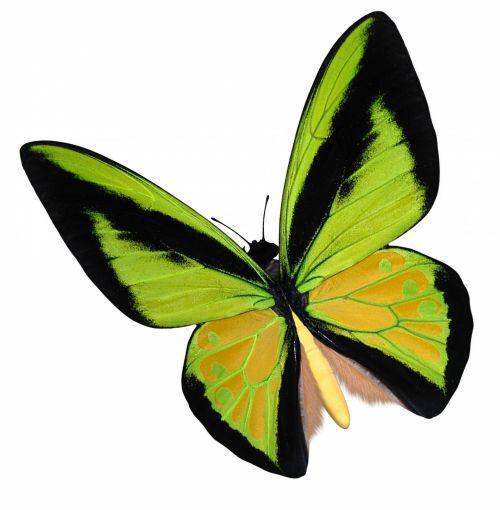 Yellow Birdwing Butterfly