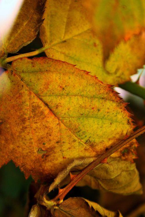 Yellow Bramble Leaves