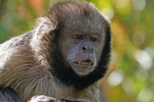 yellow breast capuchin alpha dog monkey