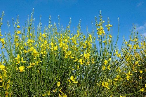 yellow broom  broom  nature