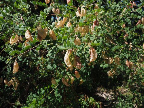 yellow bubble shrub bush colutea arborescens