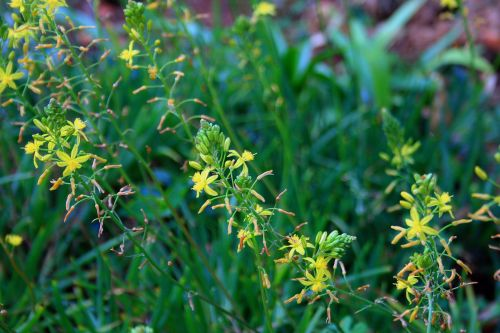 Yellow Bulbinella Flower