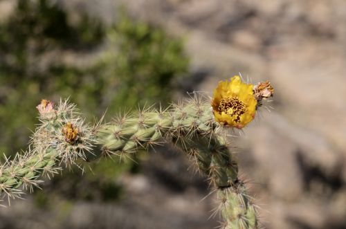 Yellow Cacti Blooms