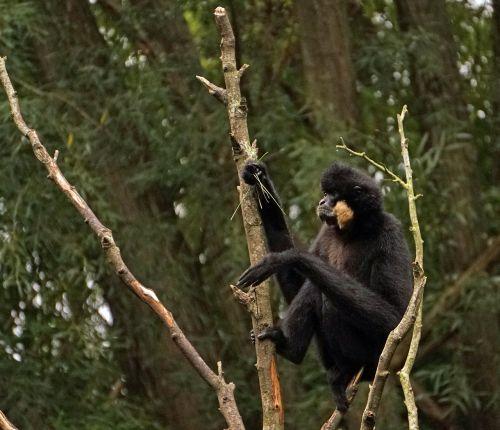 yellow cheek gibbon monkey gibbon