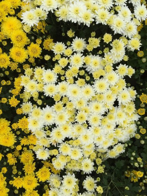yellow chrysanthemums kogiku travel