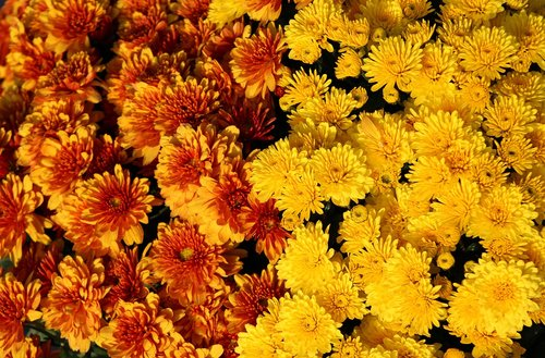 yellow chrysanthemums  chrysanthemum  bloom