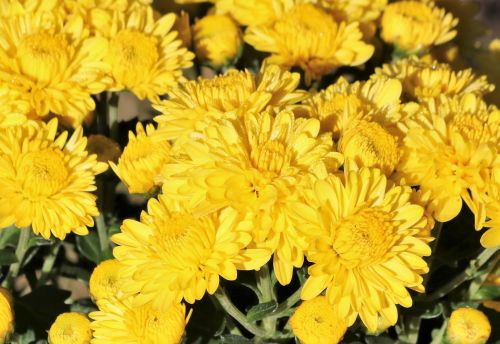 Yellow Chrysanthemums And Dew