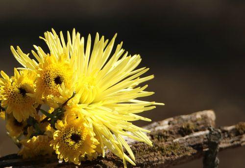 Yellow Chrysanthemums Border