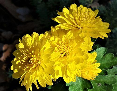 Yellow Chrysanthemums On Black