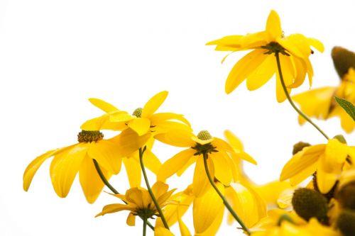 geltona ragana,geltona,saulės skrybėlė,gėlė,žiedas,žydėti,sodas,geltonos gėlės,vasara,gėlių sodas,šviečianti jautiena,sodo augalas,geltona gėlė,geltona geltona,gėlės,augalas