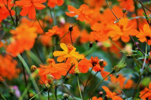 Yellow Cosmos Among Orange Flowers
