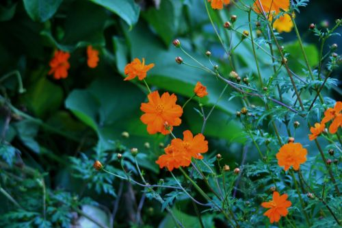 Yellow Cosmos And Green Squash