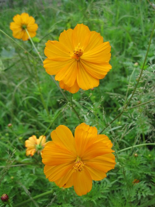Yellow Cosmos With Green Background