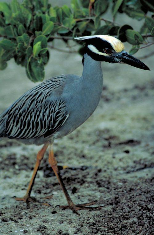 yellow crowned night heron mangroves walking